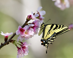 Swallowtail in the Blossoms
