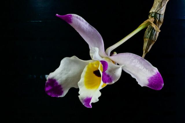 Dendrobium wardianum 17265737521_fb0c071c2a_z