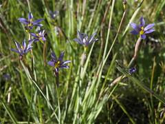 Idaho blue eyed grass, Sisyrinchium idahoense var. occidentale