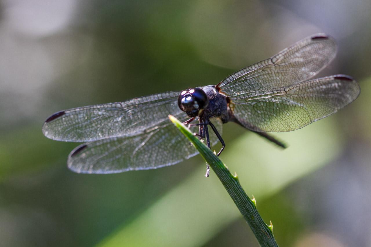 Las libélulas se alimentan de insectos, son valiosas como depredadores controlando las poblaciones de mosquitos y moscas, los cuales son transmisores de enfermedades como el dengue. (Tetsu Espósito)