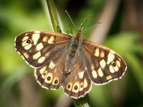 butterfly schmetterling speckledwood parargeaegeria waldbrettspiel achimermarsch