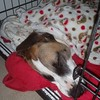 Tucked in her crate. #fannypup