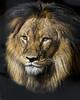 Lion0000