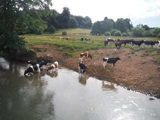 Cows in River Rother, Cowdray Estate