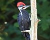 Pileated Woodpecker Juvenile