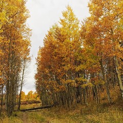 We did some #:maple_leaf: #:fallen_leaf: peeping today at #KenoshaPass with most of the people in #Colorado because it was packed! Still #gorgeous though #:heart_eyes: #autumn #fall #leaves #aspen