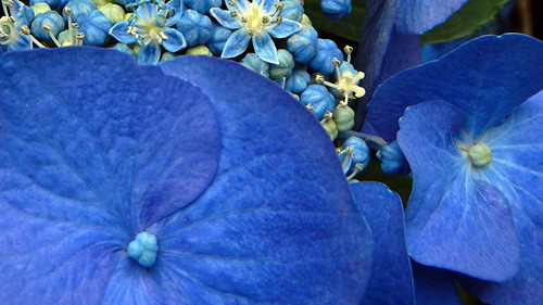 Blue Hydrangea Lacecap Flower