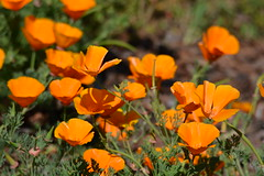 annual plant, eschscholzia californica, flower, plant, herb, wildflower, flora, meadow, petal, poppy,