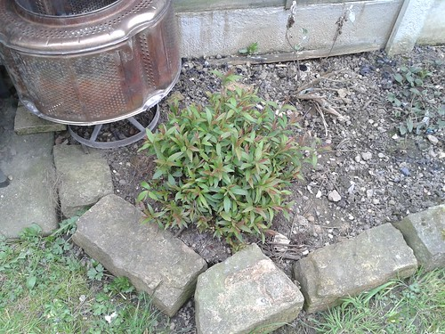Spirea looking really thick and bushy. Its not looked this good in a few years!
