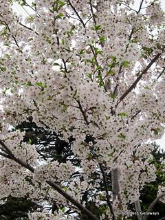 sakura-maruyama-park.jpg