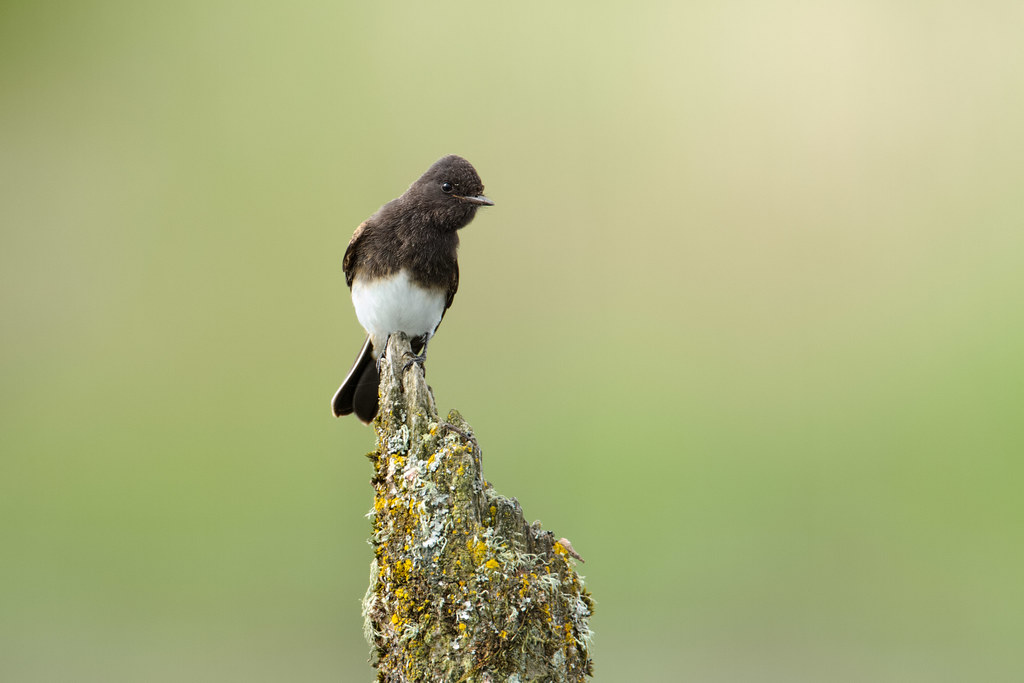 A juvenile black phoebe perches on a broken tree