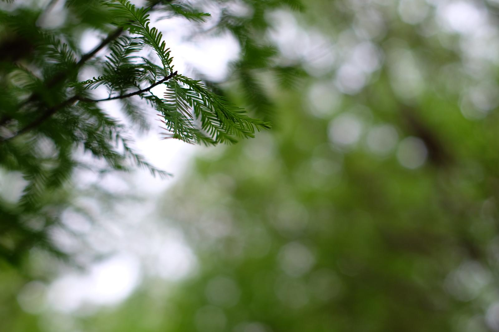 落羽松。綠油油