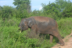 animal, indian elephant, elephant, elephants and mammoths, grazing, fauna, pasture, safari, wildlife,