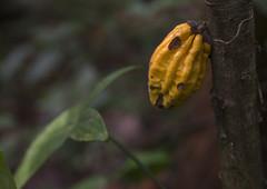 Panama, Darien Province, Filo Del Tallo, Wild Coco…
