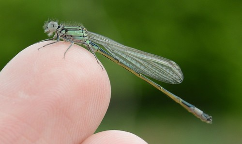 Große Pechlibelle - Juvenile Male Blue-tailed Damselfly - Ischnura elegans