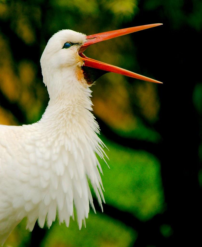 White Stork (Ciconia ciconia)_5