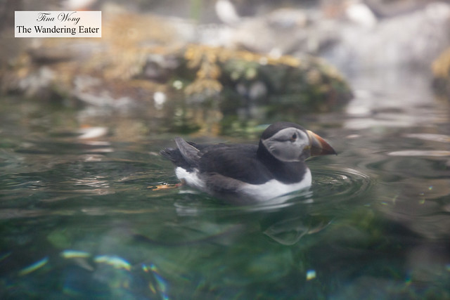 Puffin swimming