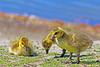 Canada Geese Goslings 16-0430-9994 by digitalmarbles