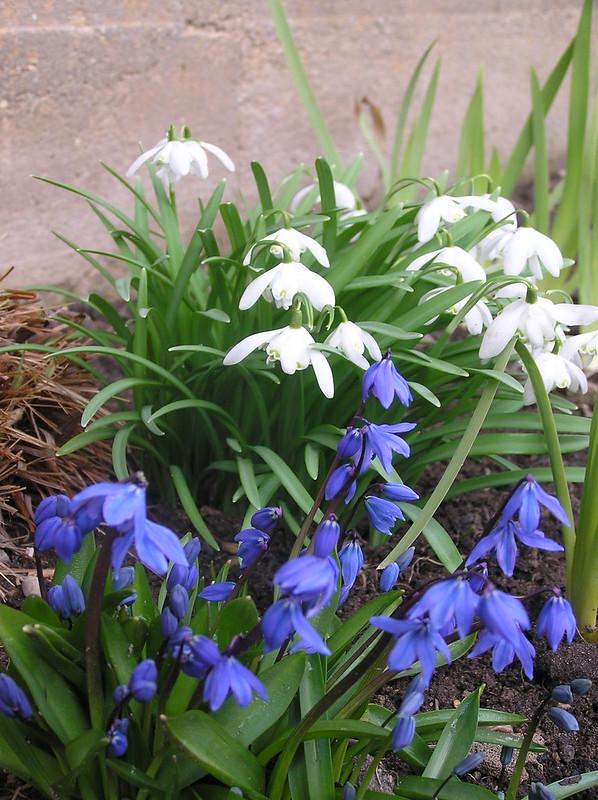 Scilla sibica & Galanthus nivalis 'Flore Pleno'