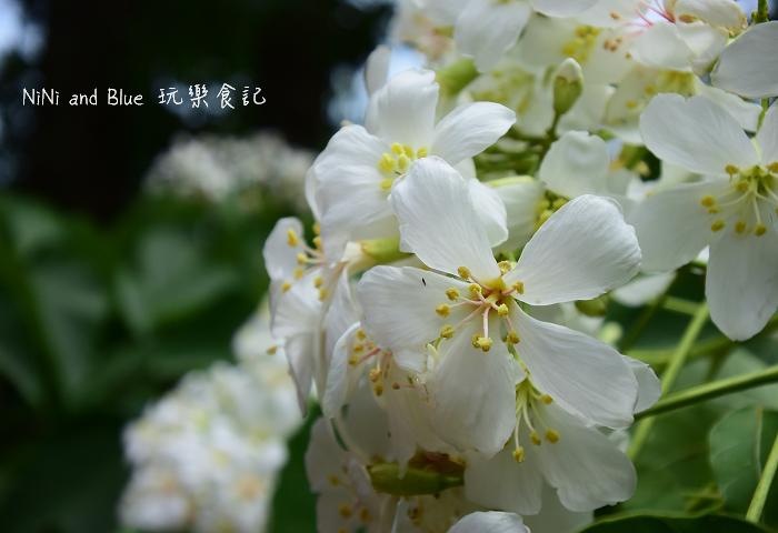 古坑荷苞山油桐花20