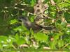 Common Whitethroat (Sylvia communis)