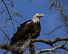 Bald Eagle - Illinois