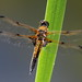 Four-spotted Chaser by Lutra56