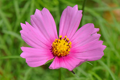 Dallas - Mexican Aster
