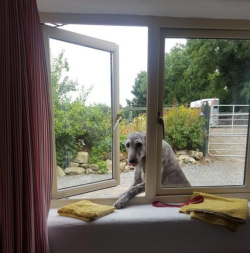 Bella the Scottish Deerhound / Ballymurphy, Ireland