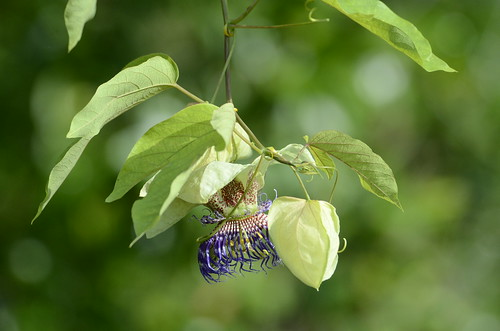 Passiflora 'Party Time'