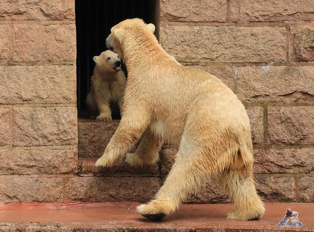 Eisbär Fiete im Zoo Rostock 04.05.2015 42