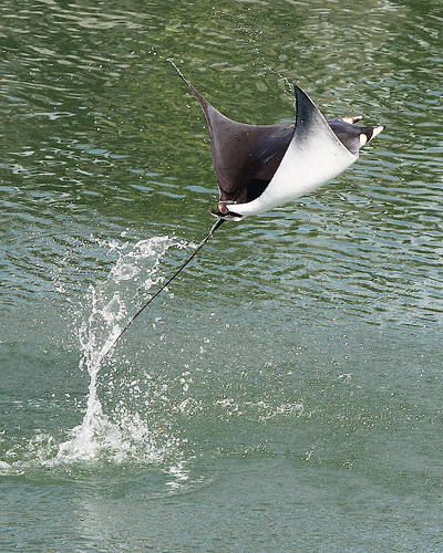 florida fl wildlife desoto jumping stingray outdoor seaside shore sea water nature 7dm2 ocean canon