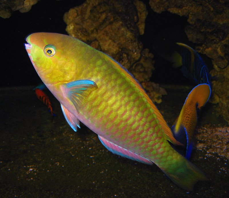 Reef Safe Parrot Fish General Discussion Pnwmas