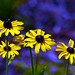 Yellow Daisies by ☺♥ julev69 ♥☺ 1,400,000+ Views- THANK YOU!