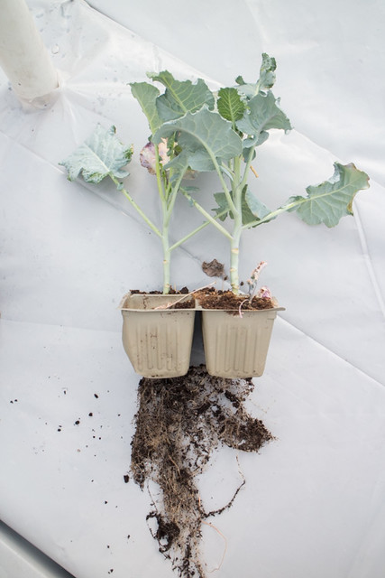 First Planting of the Year 2015 Broccoli_4