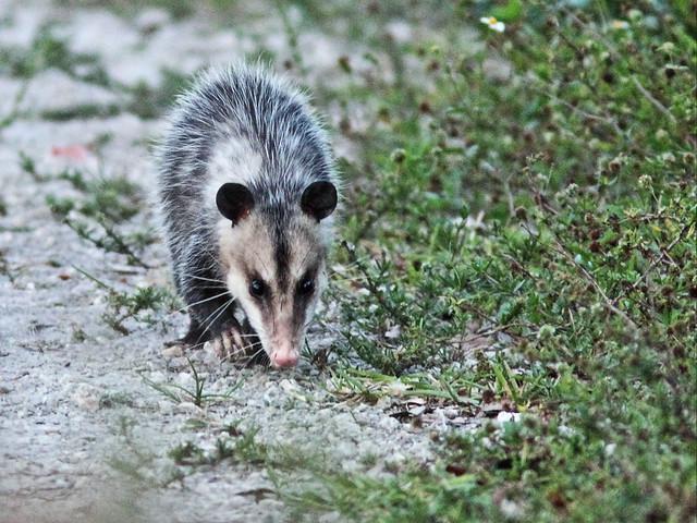 Opossum 20150404
