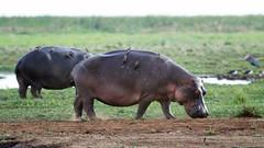 Hippo, Lake Manyara National Park