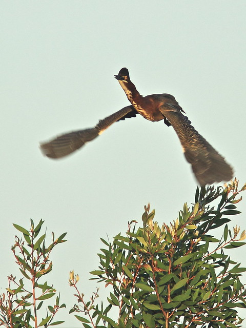 Green Heron in flight 20150413