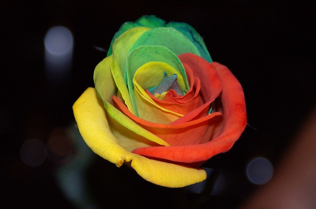 The Rainbow Rose I - Sony DSLR-A300 with Sony DT 18-70 mm