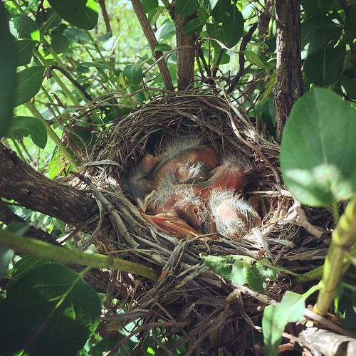 Growing baby birds in our garden this year