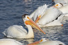 American white pelican (Pelecanus erythrorhynchos) by RonW's Nature Photography