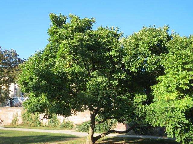 Magnolia × soulangeana, Canon IXUS 510 HS