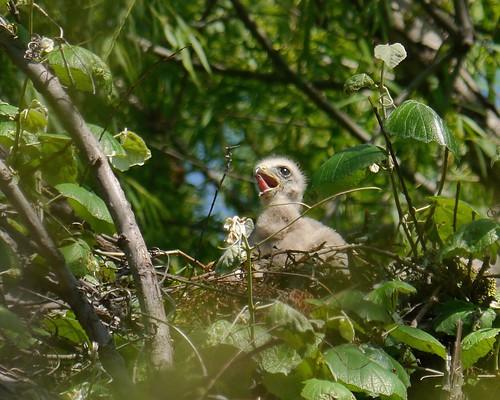 Red-shouldered Hawk Nestling - 1