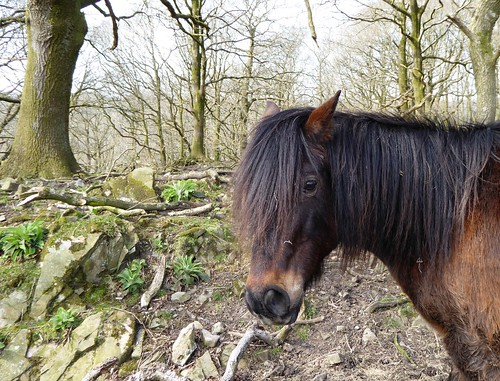 Welsh Pony, Woodland