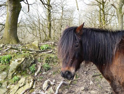 Welsh Pony, Woodland