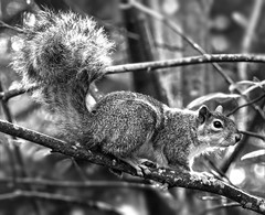 Squirrel-Perch_BW