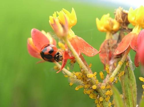以綠籬植物營造指標物種和有益天敵(橙瓢蟲)的棲地(花改場提供)