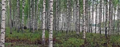 lake tree forest finland spring birch jaala karijärvi