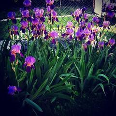 Purple Irises #spring. #flowers #nature #yard #irises #purple #flower #may #bulbs #urbangardening #picoftheday