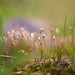 Moss in bokeh by Nyllet